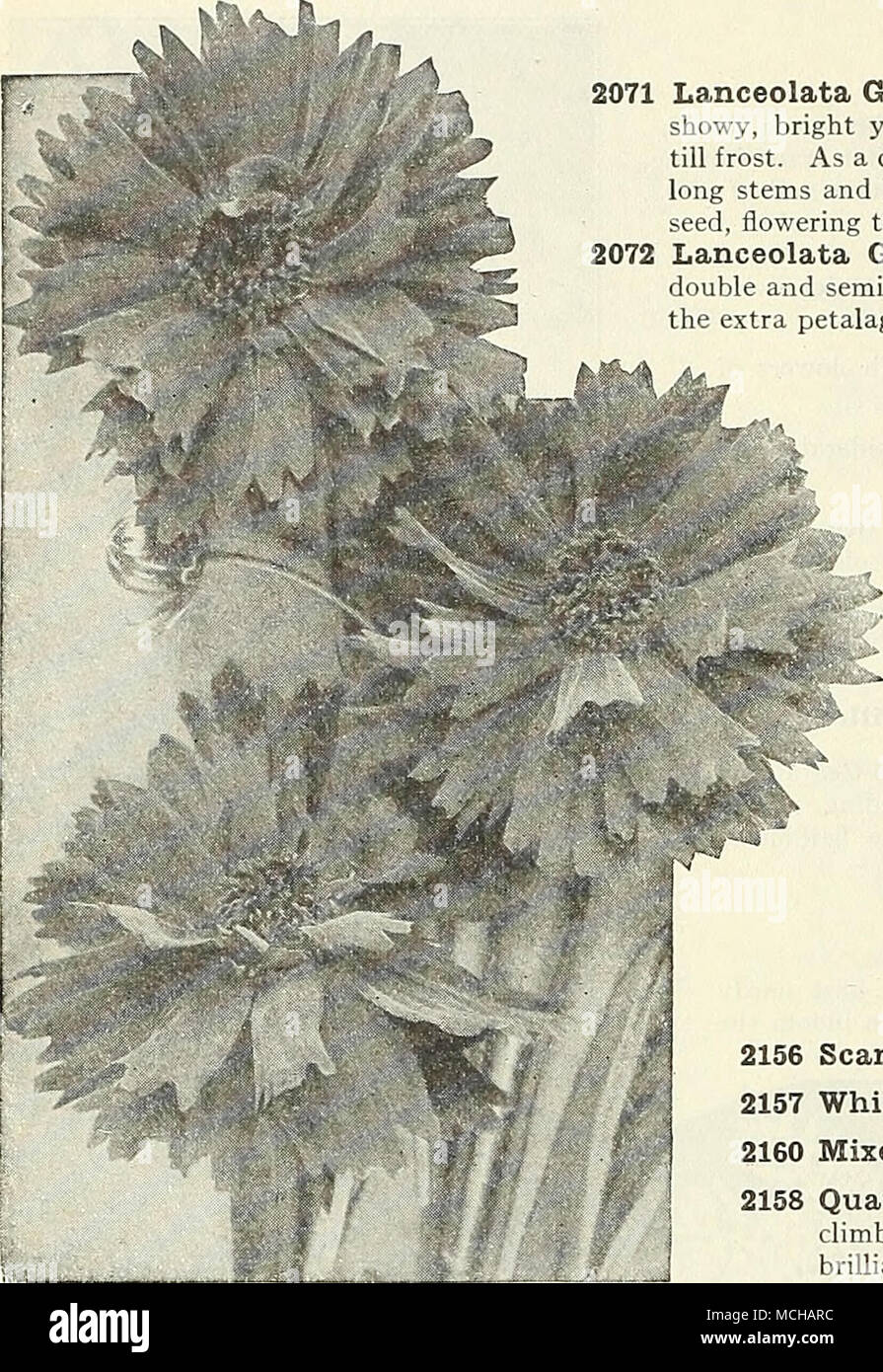 Cowslip Primula Veris 2110 Mixed A Beautiful Hardy Spring
