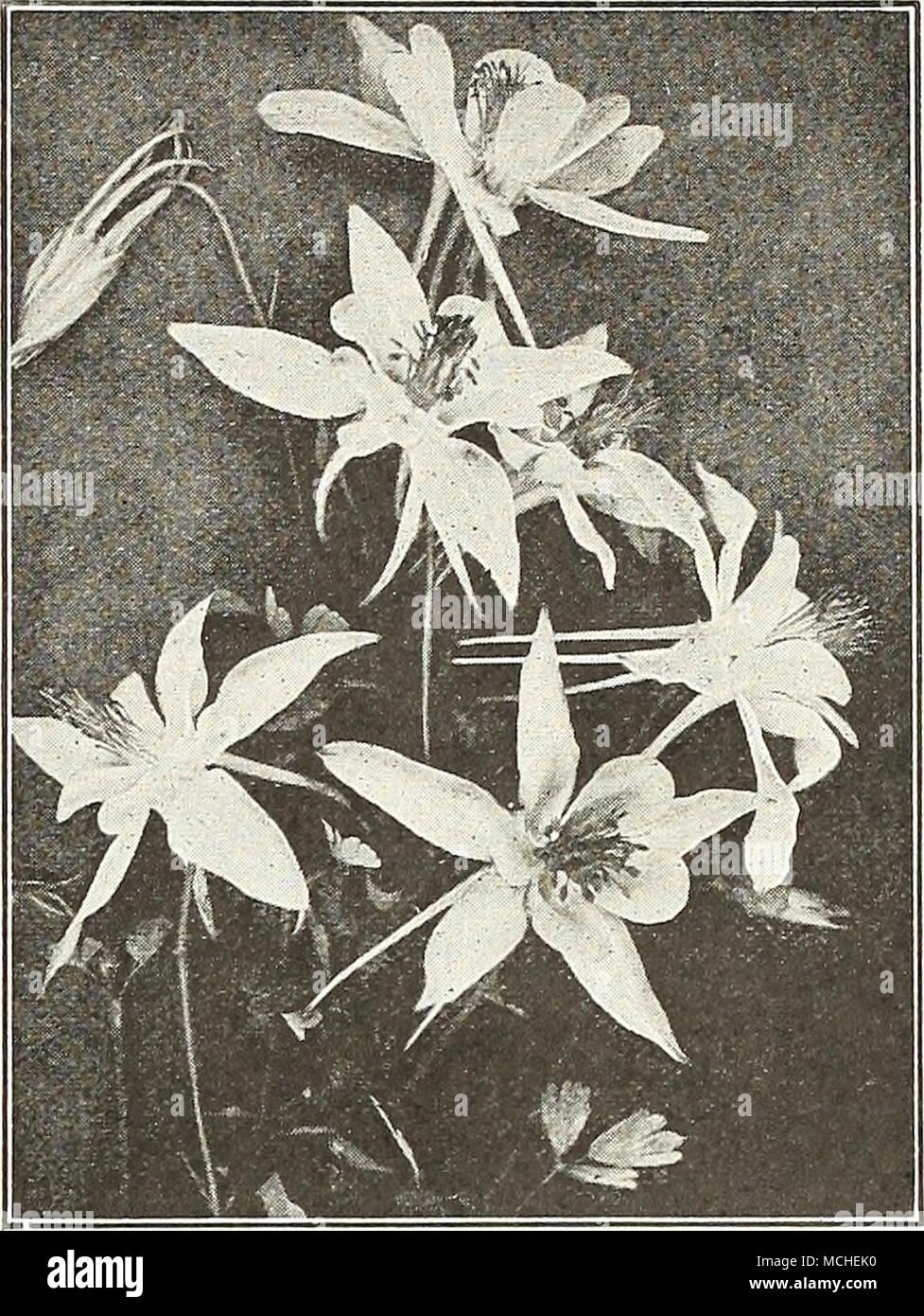 Dreers long spurred aquilegia or columbine anthericum st brunos a charming border plant with rush like foliage and 18 to 24 inch high racemes of small white lily like flowers izmirmasajfo Image collections
