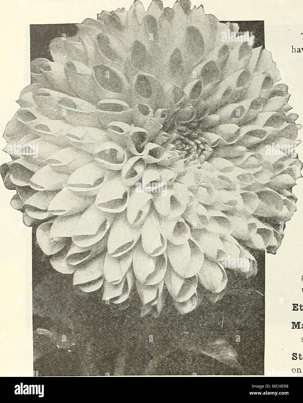 Double Show Dahlias This Is The Old Fashioned Densely Double Type