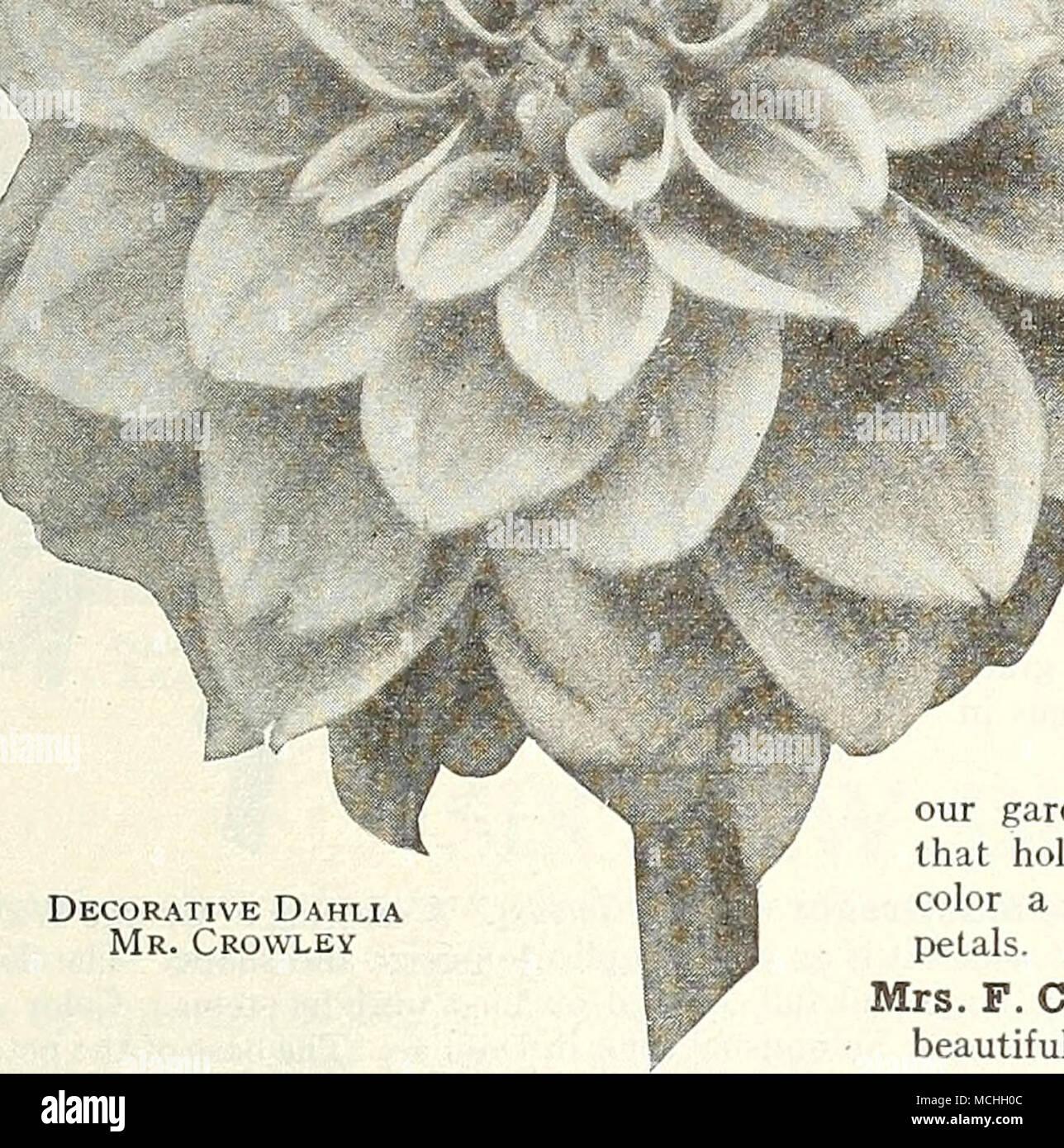 Decorative Dahlia Mr Crowley Mrs O D Baldwin Decorative A