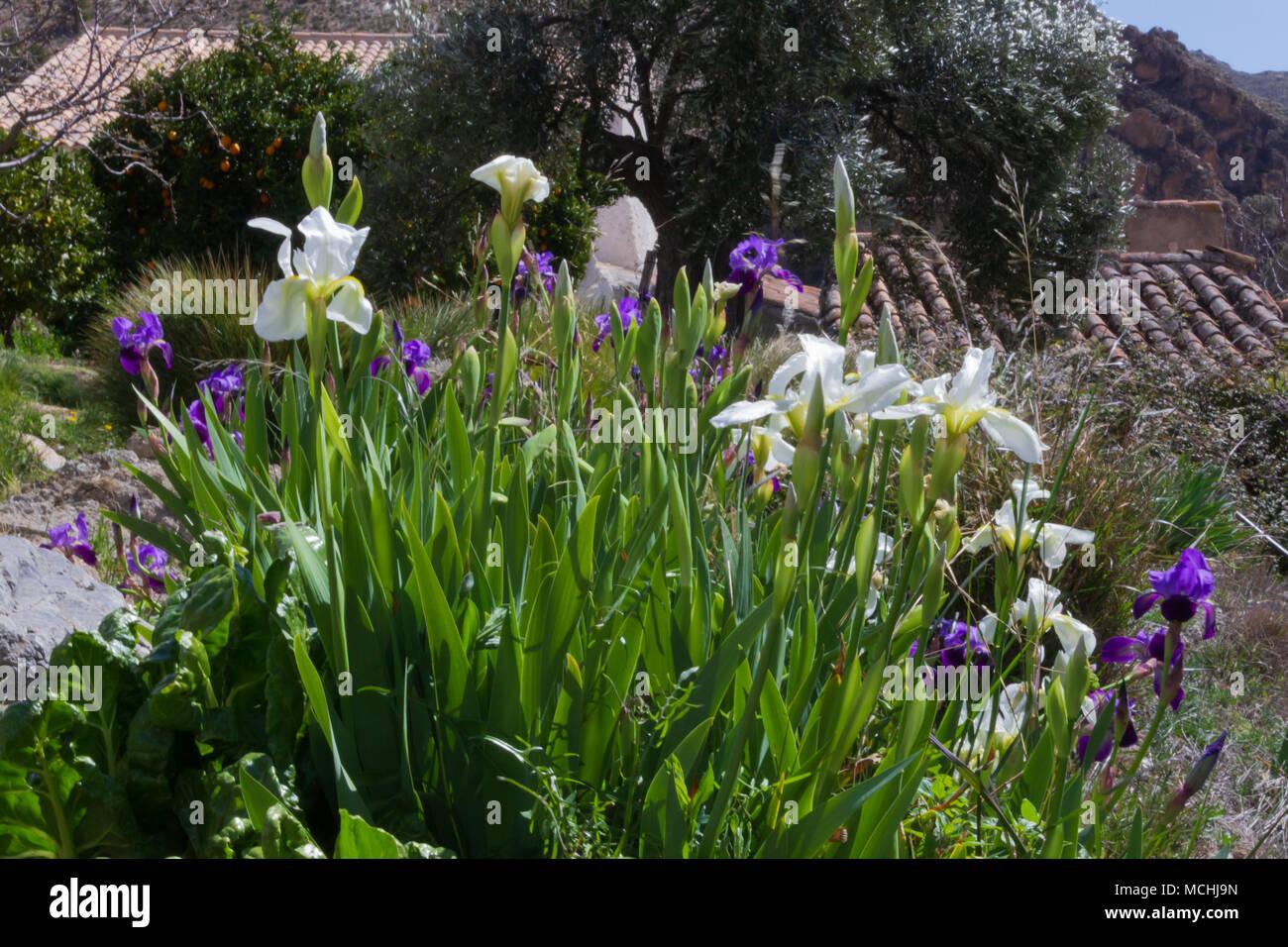 Iris Flowers Iris Germanici Germanica Also Known As Bearded Iris