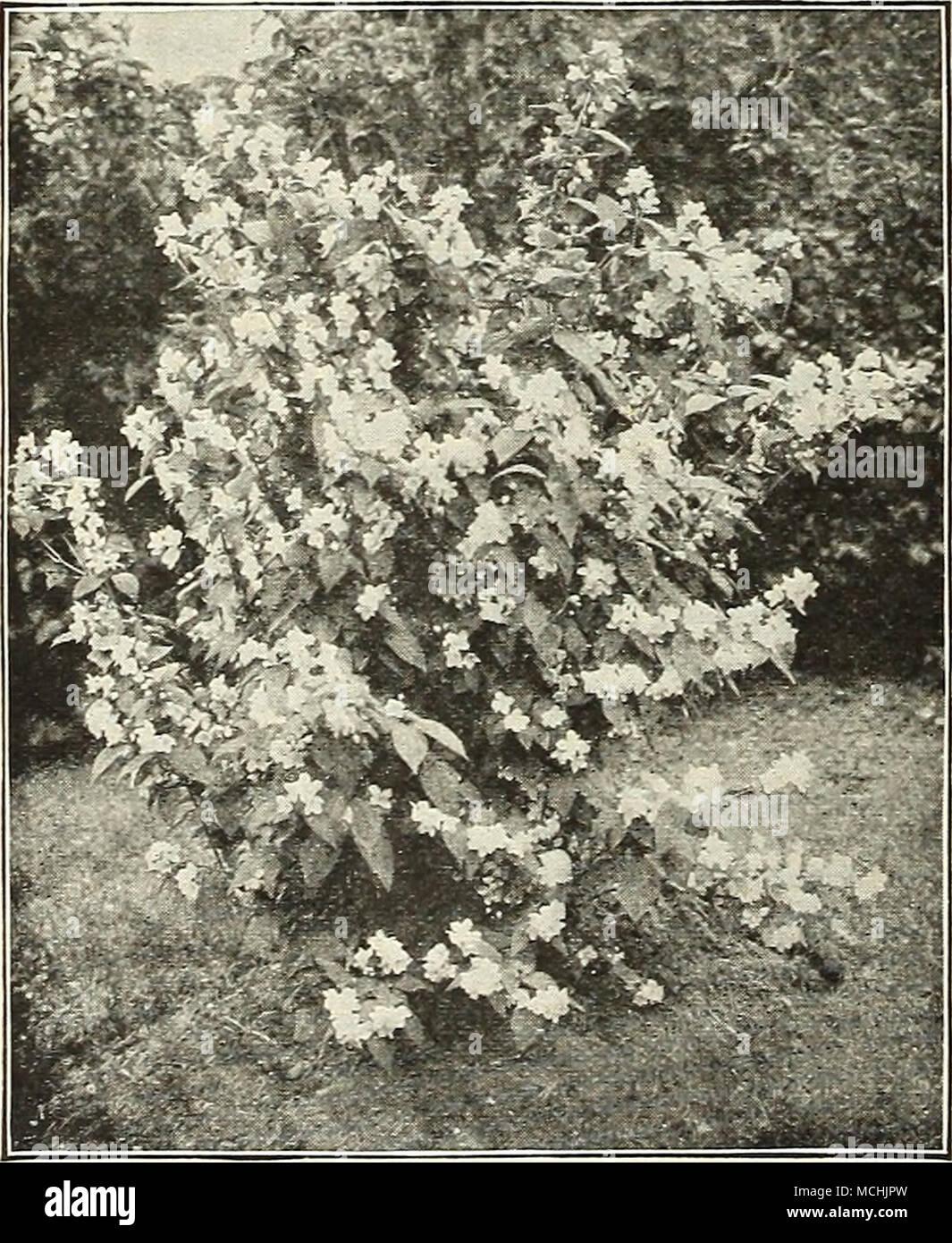 Philadelphus Coronarius Lilacs See Syringa Page 202 Loniceras