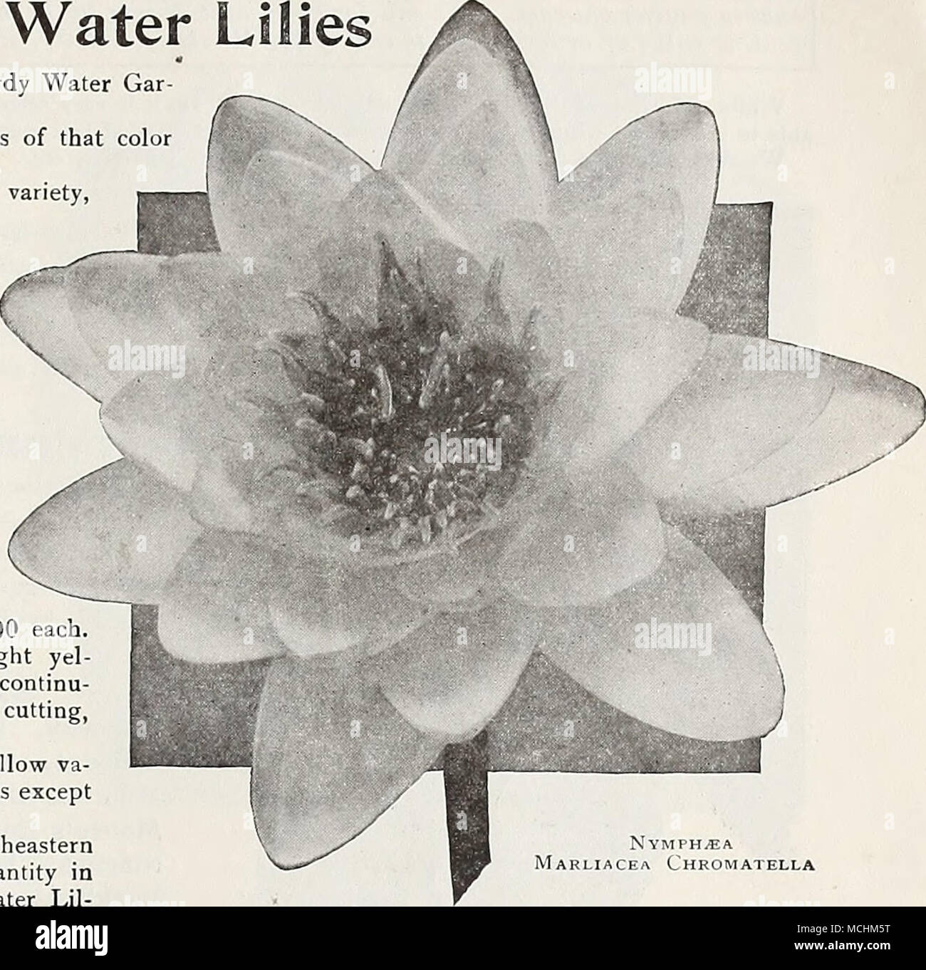 Hardy nymphaeas or water lilies a select list of the most suitable hardy nymphaeas or water lilies a select list of the most suitable varieties for all hardy water den purposes ready april 15th to june 1st izmirmasajfo