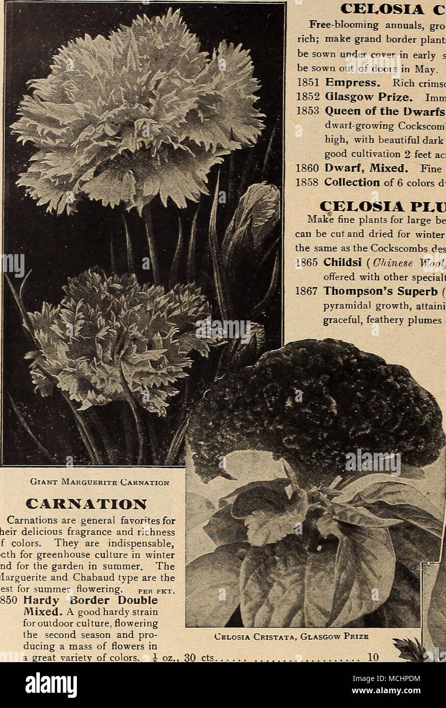 Carnations Are General Favorites For Their Delicious Fragrance And