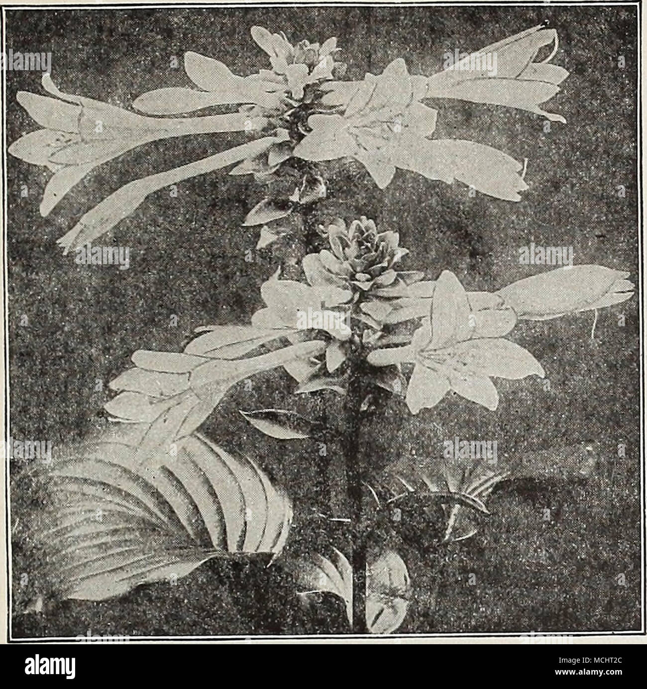 Funkia Sljbcordata Grandiflora Funkia Plantain Lily The Plantain