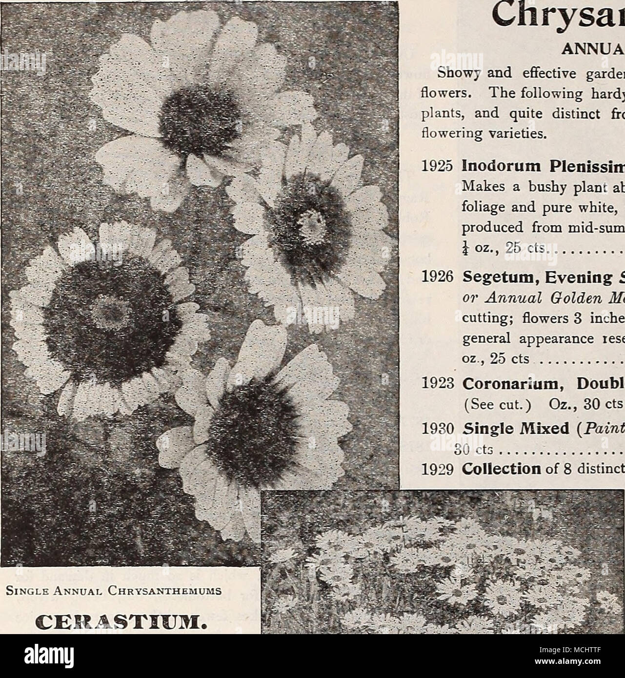 Single Annual Chrysanthemums Cerastkjm Snow In Summer Per Pkt