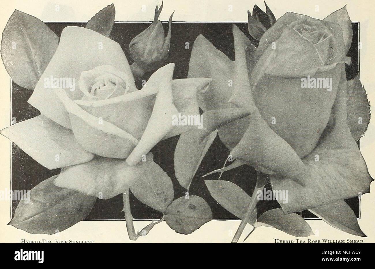 Hybrid Tea Rose Sunburst Hybrid Tea Rose William Shean Select List