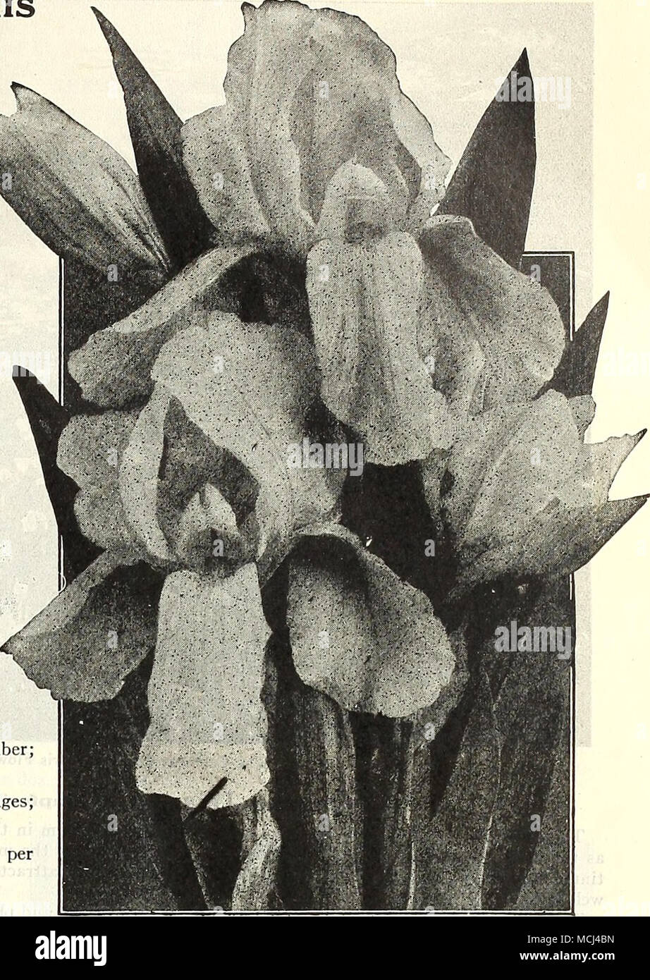 Golden Yellow German Iris Sherwin Wrighi Offered On Page 21
