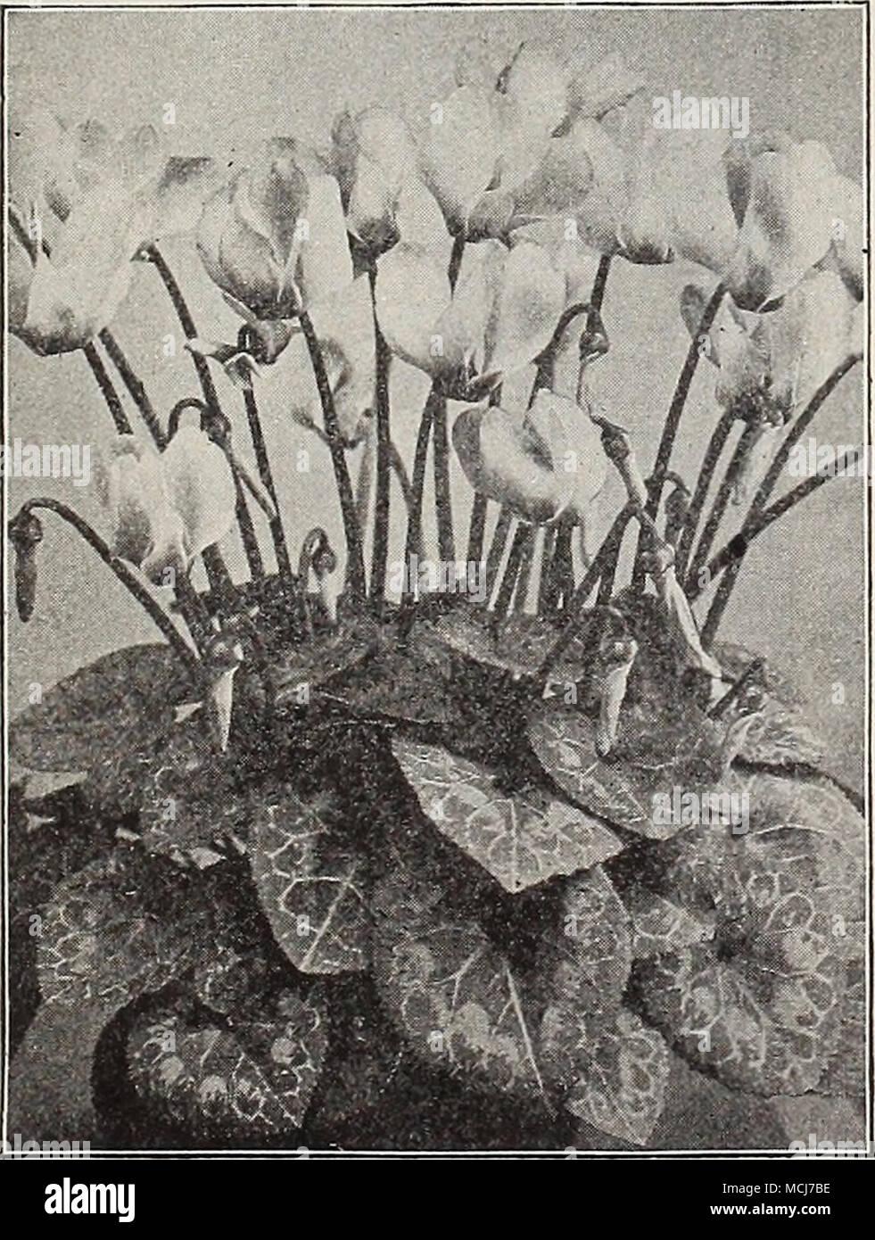 Pkt Is 10 20 25 Giant Cyclamen Chrysanthemum Per Maximum King