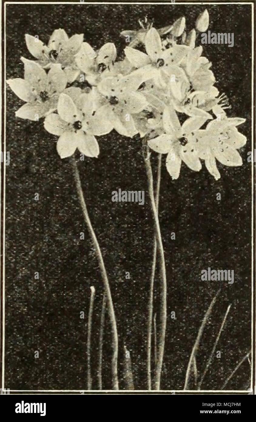 Ornithogalum arabicum Ornithogalum Arabicum {Arabian Star of ...