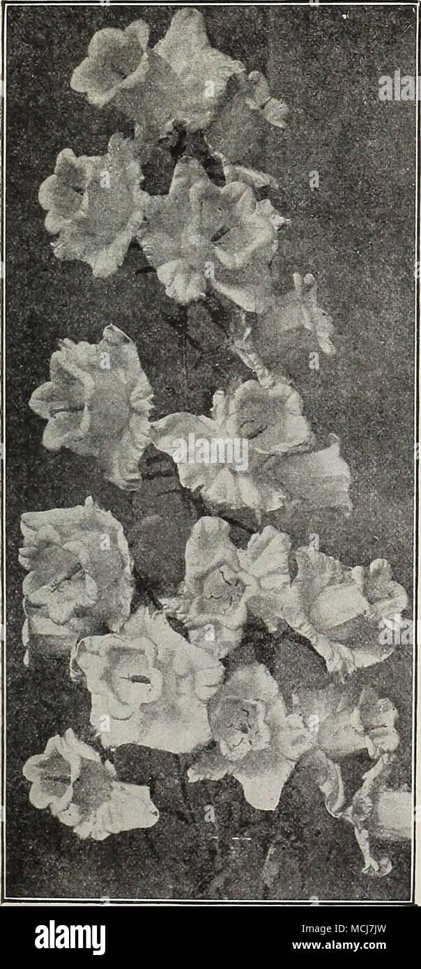 Bultonia Latisquama Poppy Mallow An Elegant Trailing Plant With