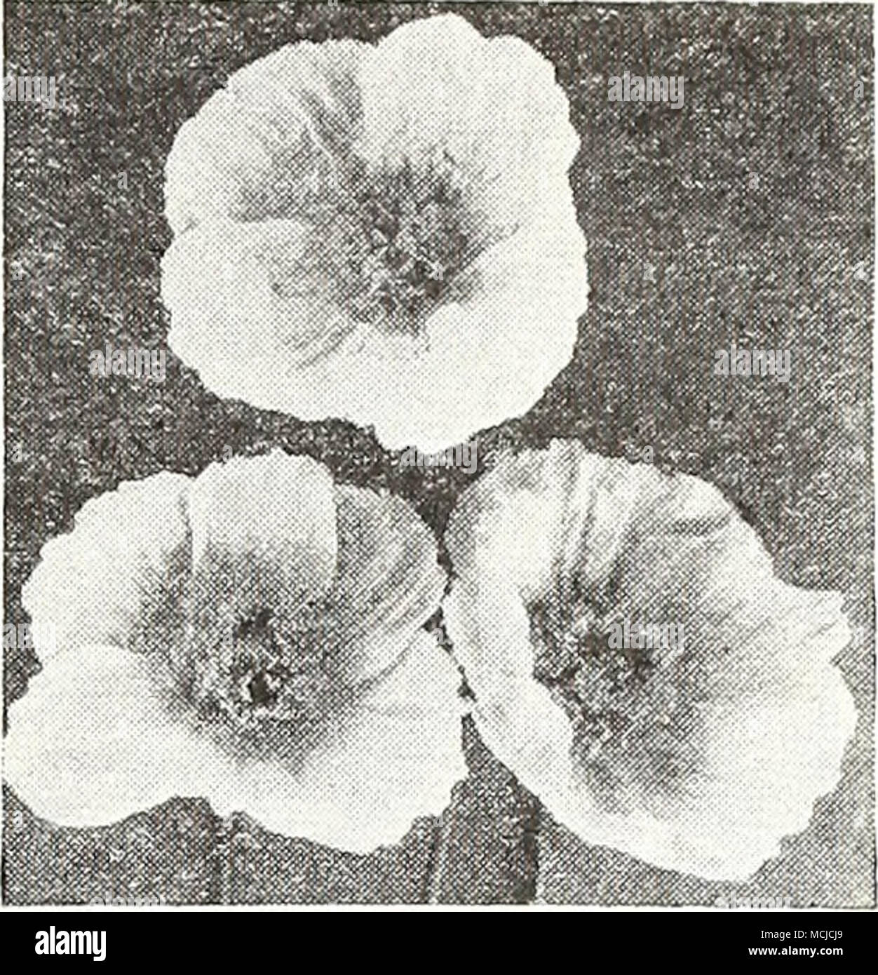 Iceland Poppies Hardy Iceland Poppies Fp A Papaver Nudicaule While