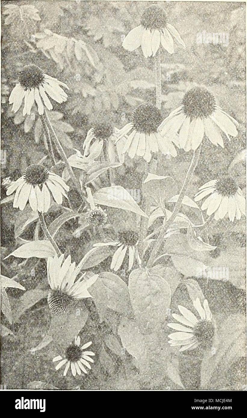 Rudbeckia Purpurea Rudbeckia Cone Aower Indispensable Plants For