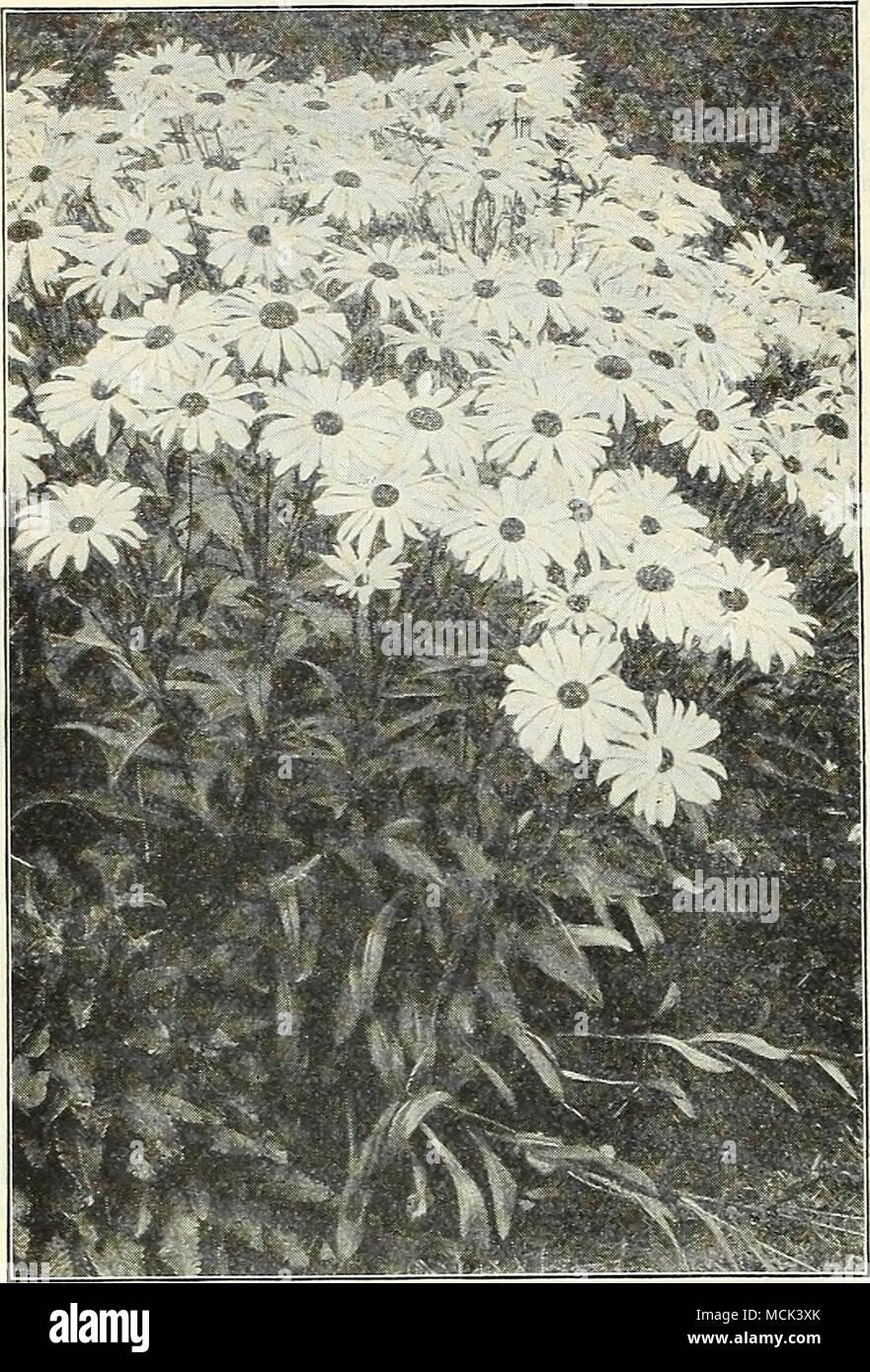 Shasta daisy aljvsk cerastium snow in suinmer pr pkt 1911 a very pretty dwarf white leaved edging plant bearing small white flowers hardy perennial so is cheiranthus aery pretty dwarf hardy mightylinksfo