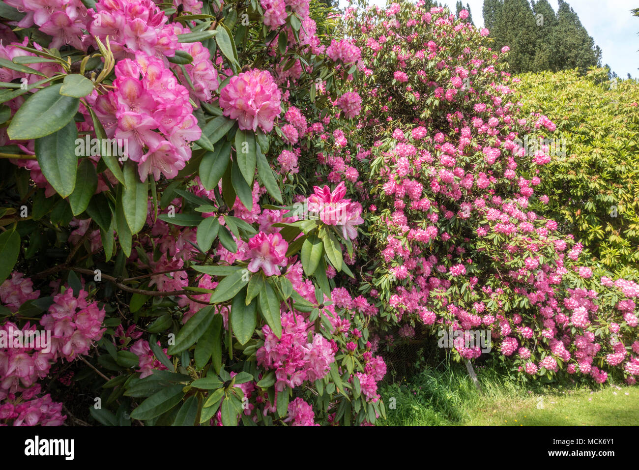 Rhododendron pink flowers large shrub stock photo 179902101 alamy rhododendron pink flowers large shrub mightylinksfo