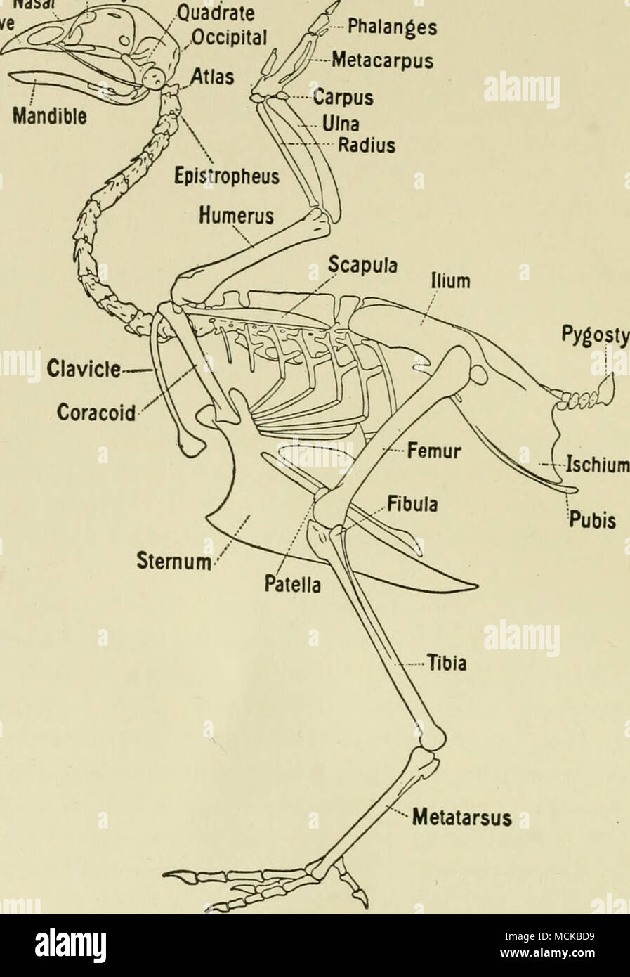 Metatarsus Fig 1 The Skeleton Of The Fowl Bradley The Thoracic