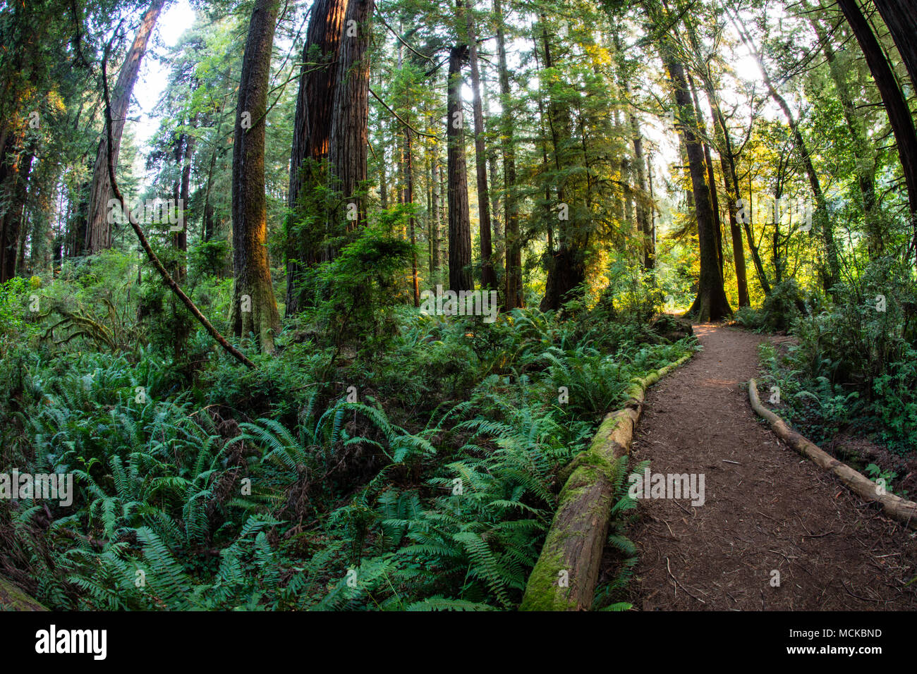 luxuriant plant growth occurs in redwood national park in northern