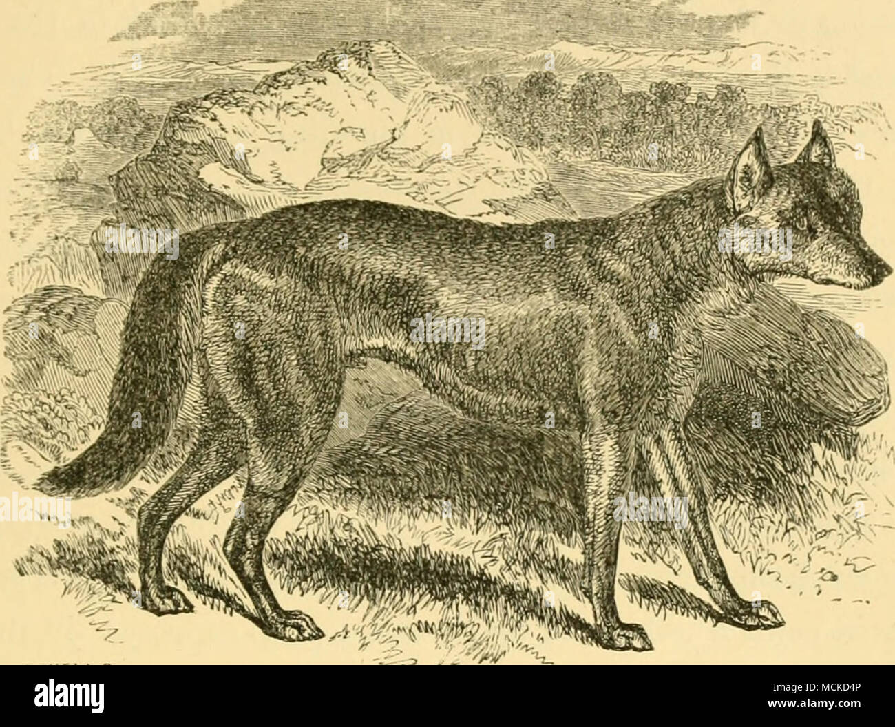 Hunting for a wolf and its varieties