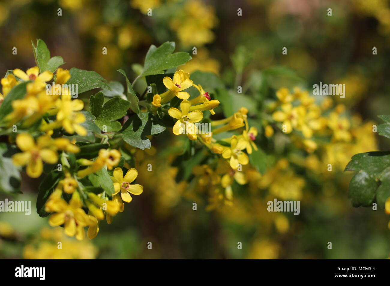 Yellow flowers of golden currant ribes aureum stock photo yellow flowers of golden currant ribes aureum mightylinksfo