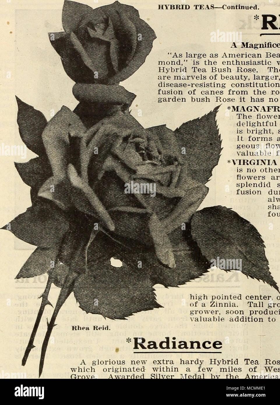 Rhea Reid A Magnificent New Crimson Garden Rose. \