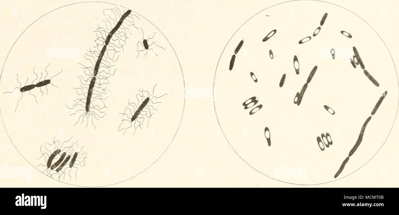 Fig. 64. Bacillus oedematis rnaligni with flagella and spores ...