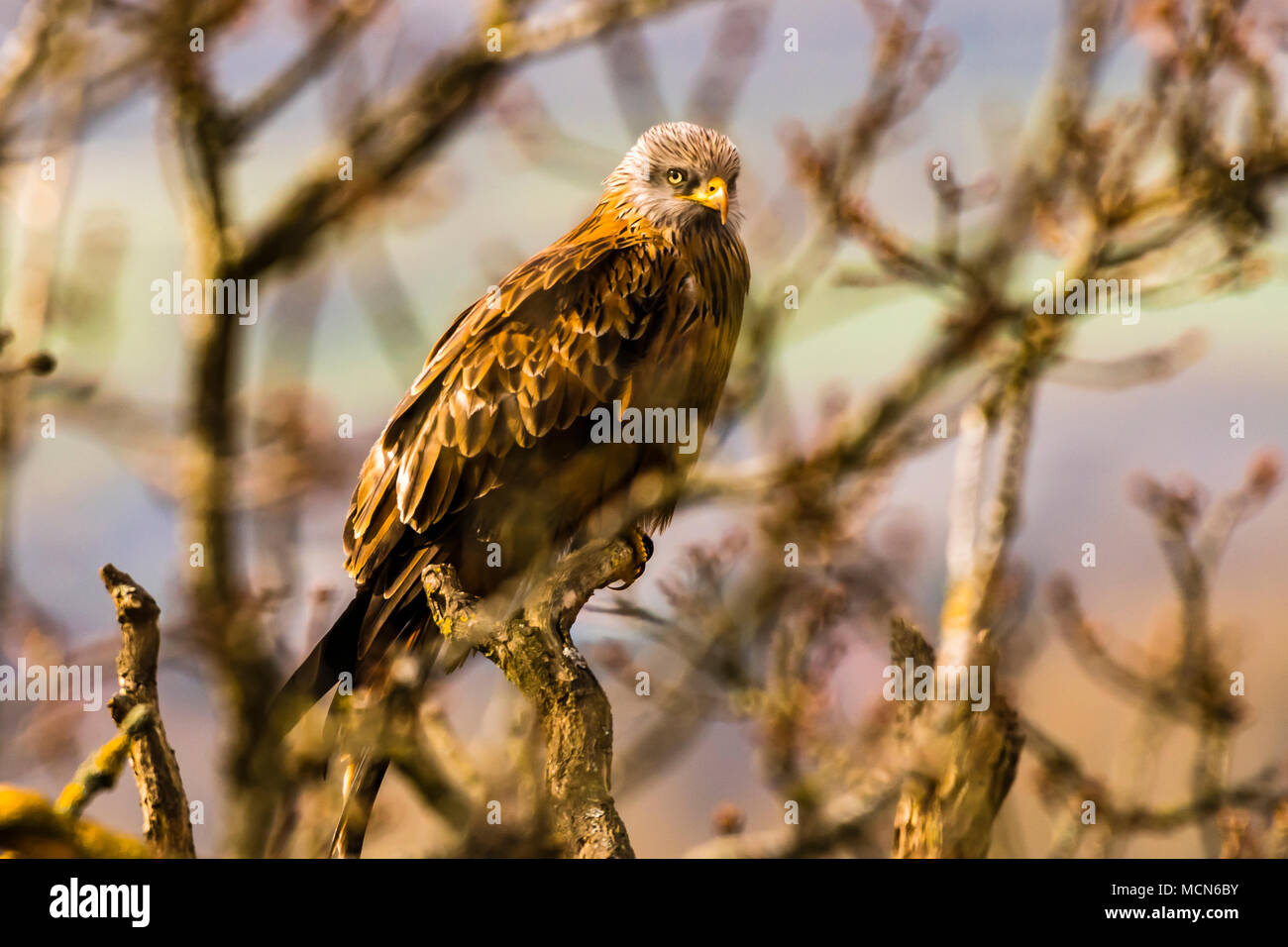 Fabulous Red Kite sitting in a tree near Cliveden, Buckinghamshire, UK - Stock Image