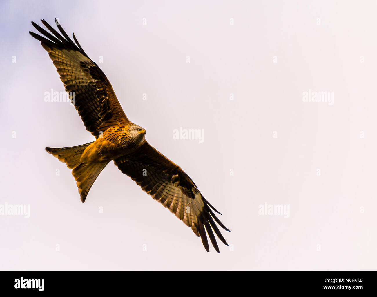 Fabulous Red Kite flying over Cliveden, Buckinghamshire, UK - Stock Image