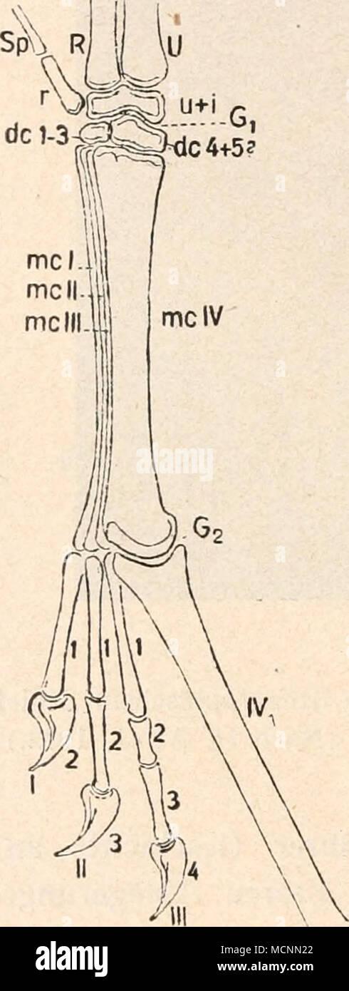 Tolle Menschliches Bein Sehnen Bilder - Anatomie Von Menschlichen ...