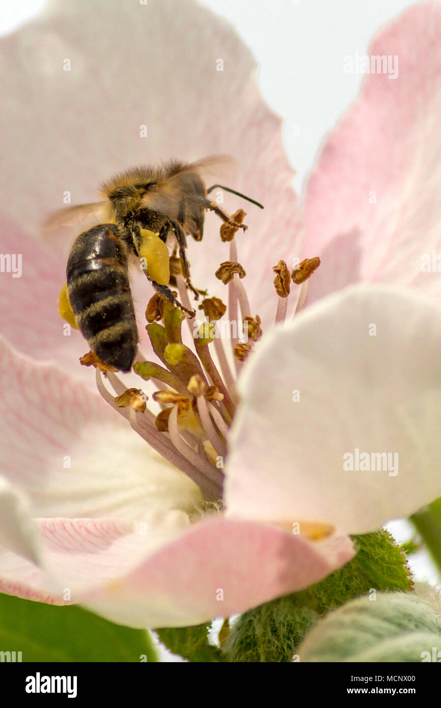 Malomirovo Strandja mountians Bulgaria 17th April 2017: Warm day for production and storage of honey Bees most villages maintian honey hives at the foothills of the Strandja mountians Bulgaria Clifford Norton Alamy  Live News. - Stock Image