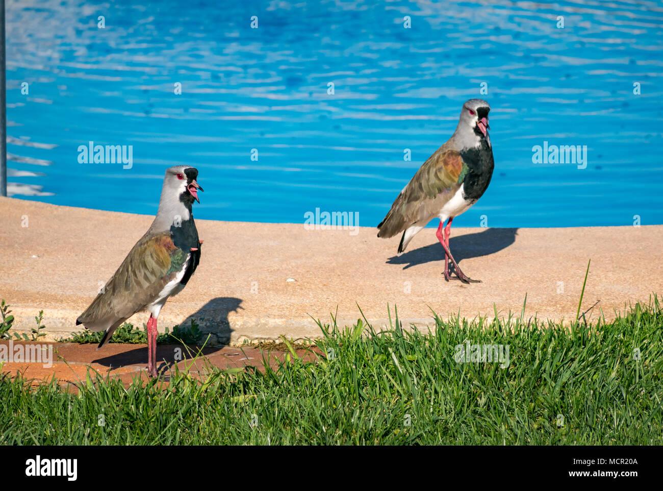 andean-lapwings-vanellus-resplendens-by-