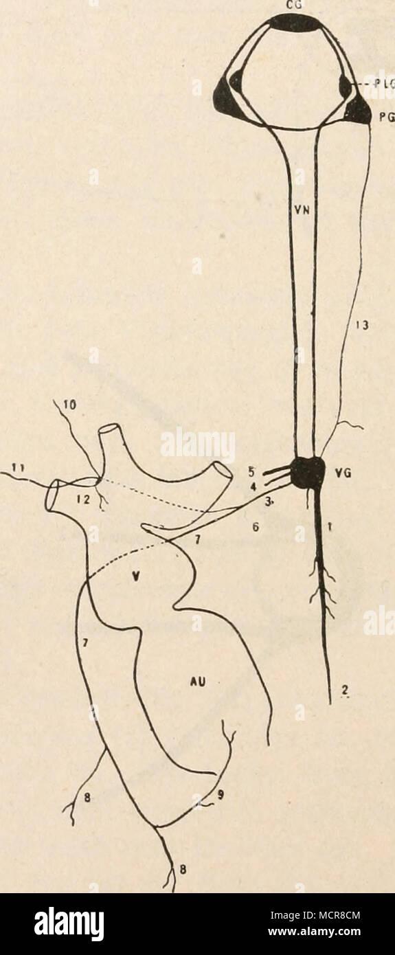Beste Herz Anatomie Und Physiologie Quiz Ideen - Menschliche ...