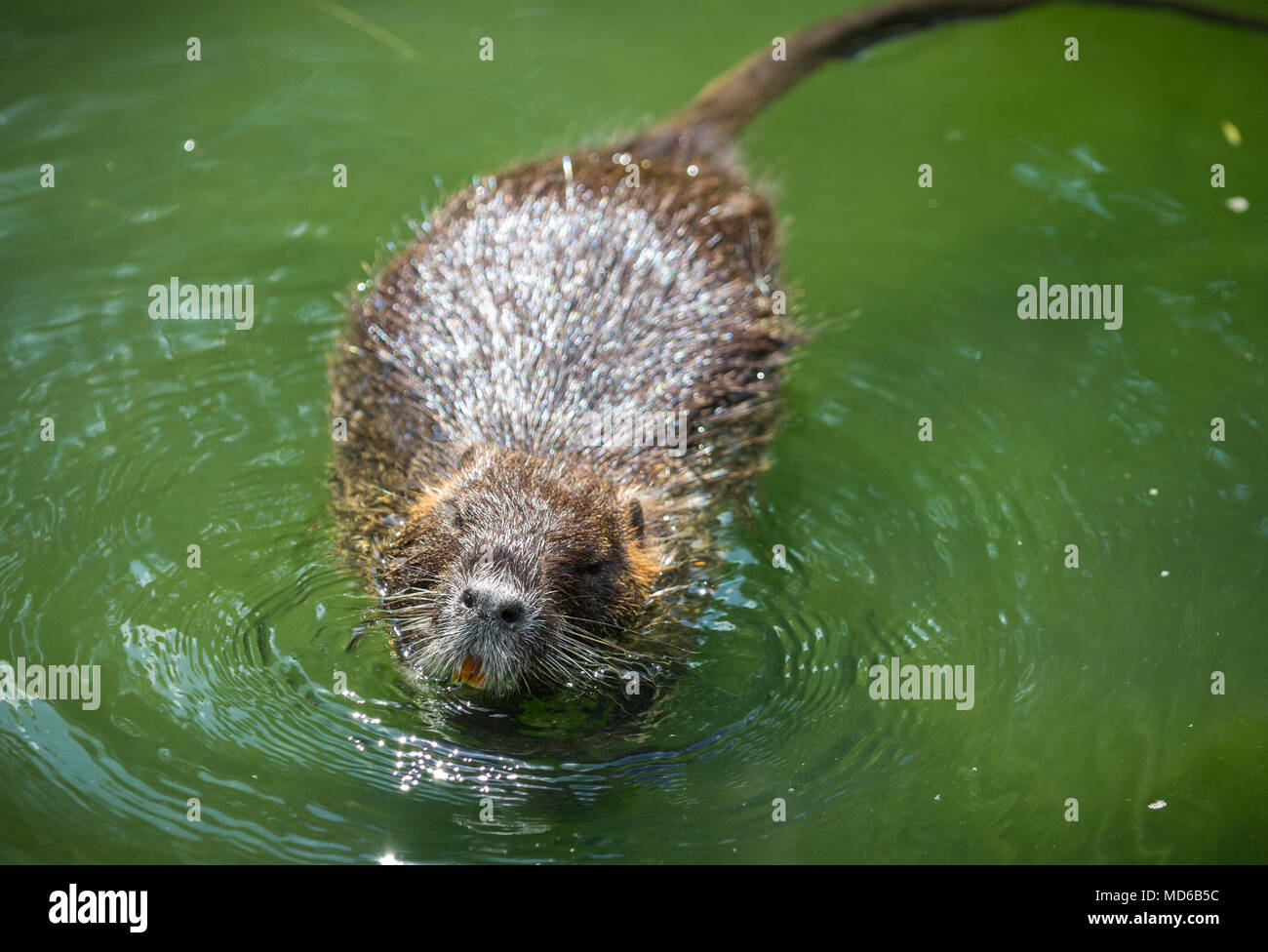 adult beaver eating a plant beaver in a lake beaver in water in Beaver in Pushing Water adult beaver eating a plant beaver in a lake beaver in water in the evening