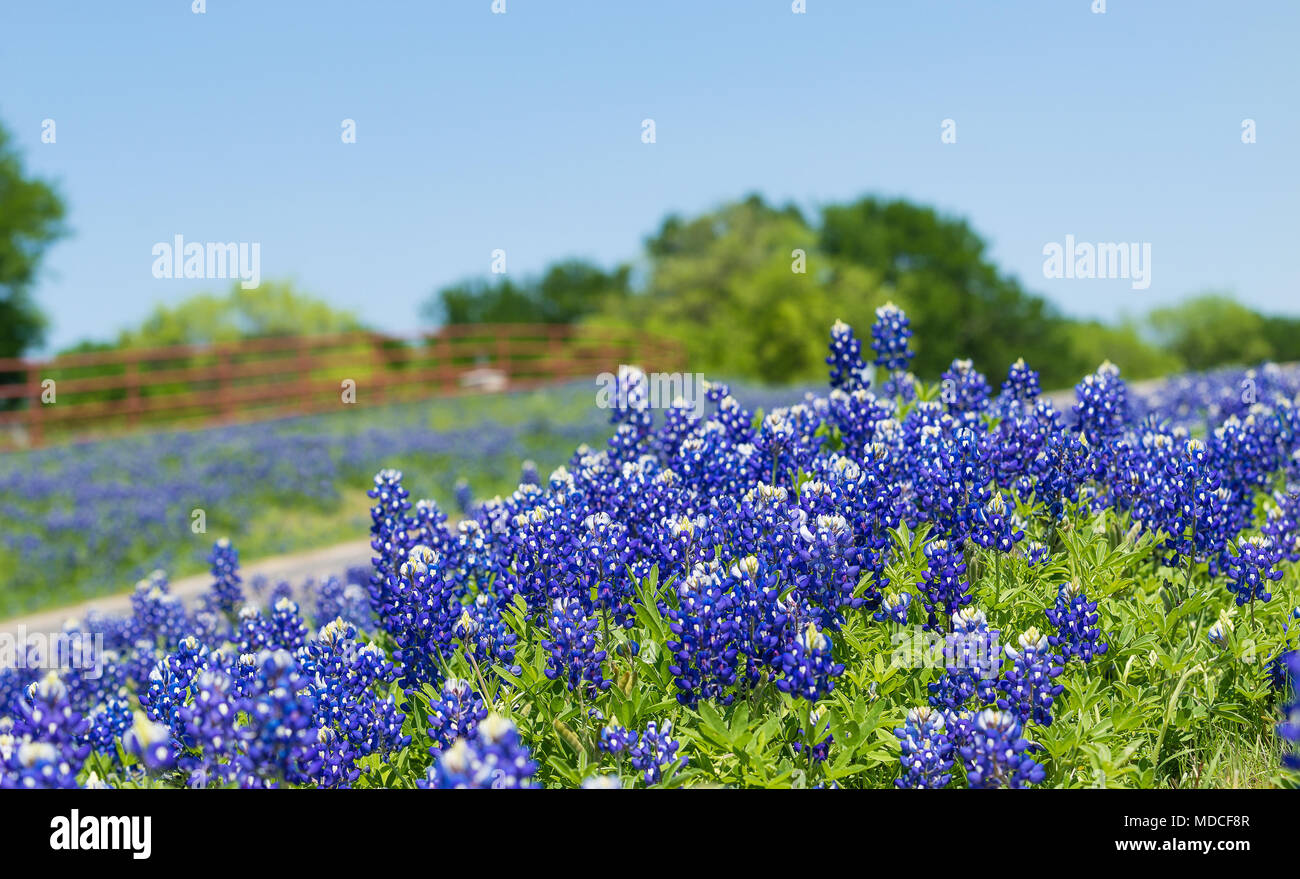 Texas Bluebonnet Flowers Blooming Along A Country Road In The Spring