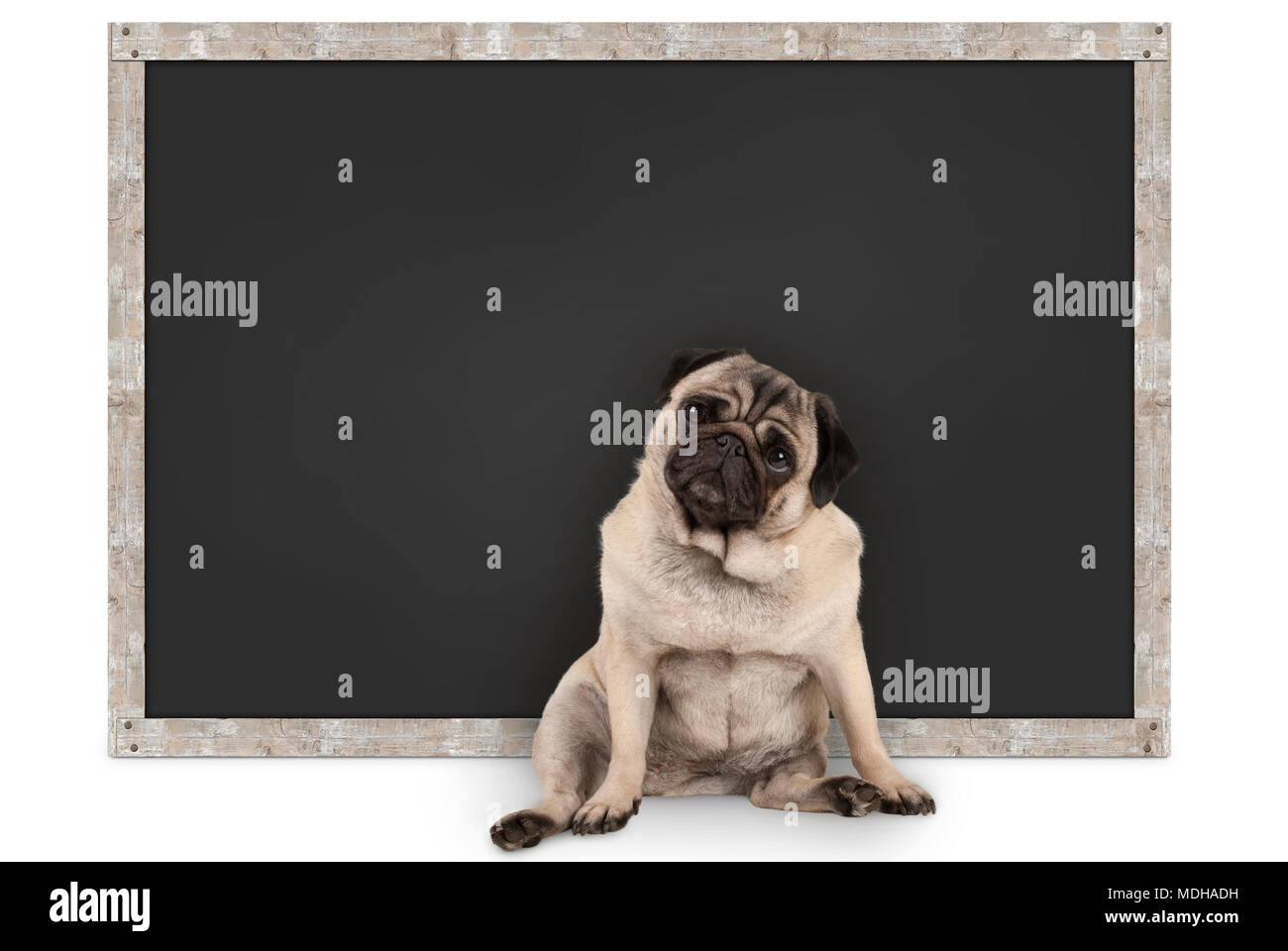 smart funny pug puppy dog sitting in front of blank blackboard, isolated on white background - Stock Image
