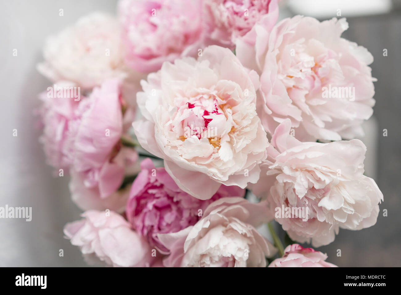 cute and lovely peony. many layered petals. bunch pale pink peonies