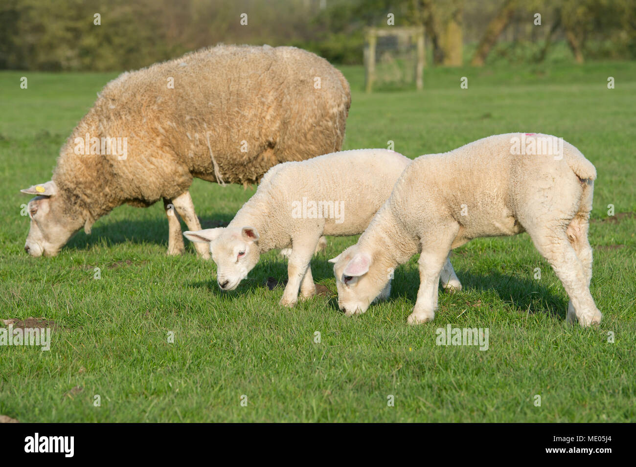 Two Spring Lambs and their mother enjoying the sunshine in the countryside in East Yorkshire - Stock Image