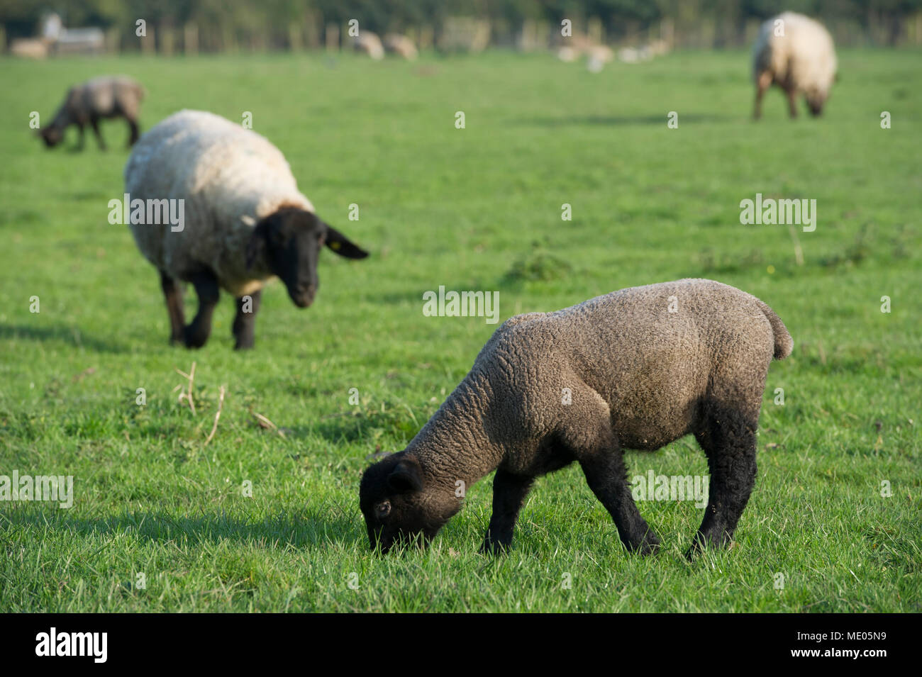 A Black Spring Lamb grazing in the sunshine in rural East Yorkshire - Stock Image