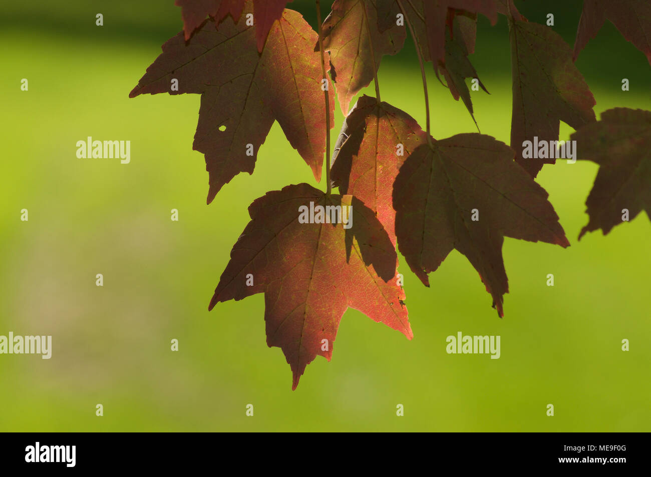 Red Fall Leaf Color Stock Photo: 180918208 - Alamy