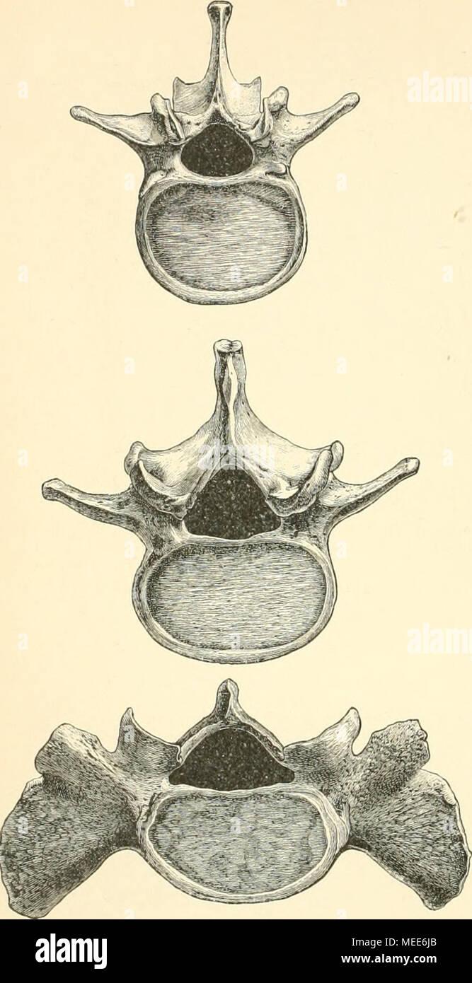 Die descriptive und topographische Anatomie des Menschen . Vom ...