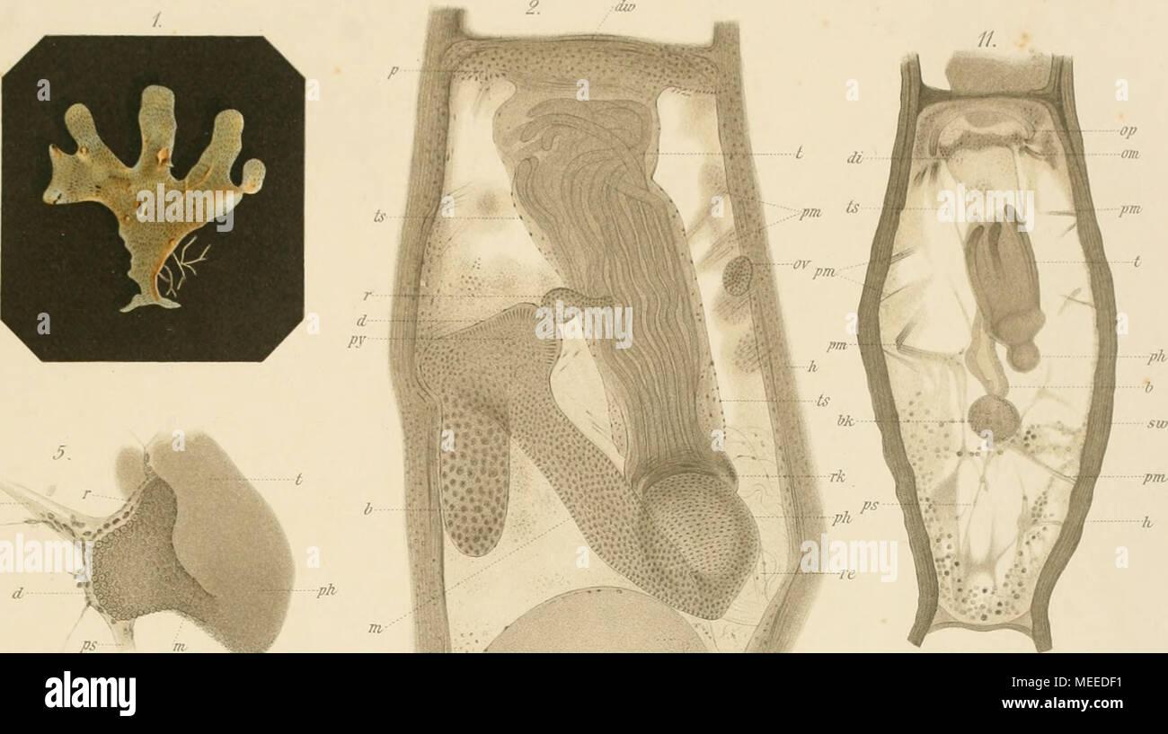 """. Die bryozoen, gesammelt während der dritten und vierten polarfahrt des """"Willem Barents"""" in den jahren 1880-1881 . PS I m 12. dw 6. ka t U ps  if ps - Stock Image"""