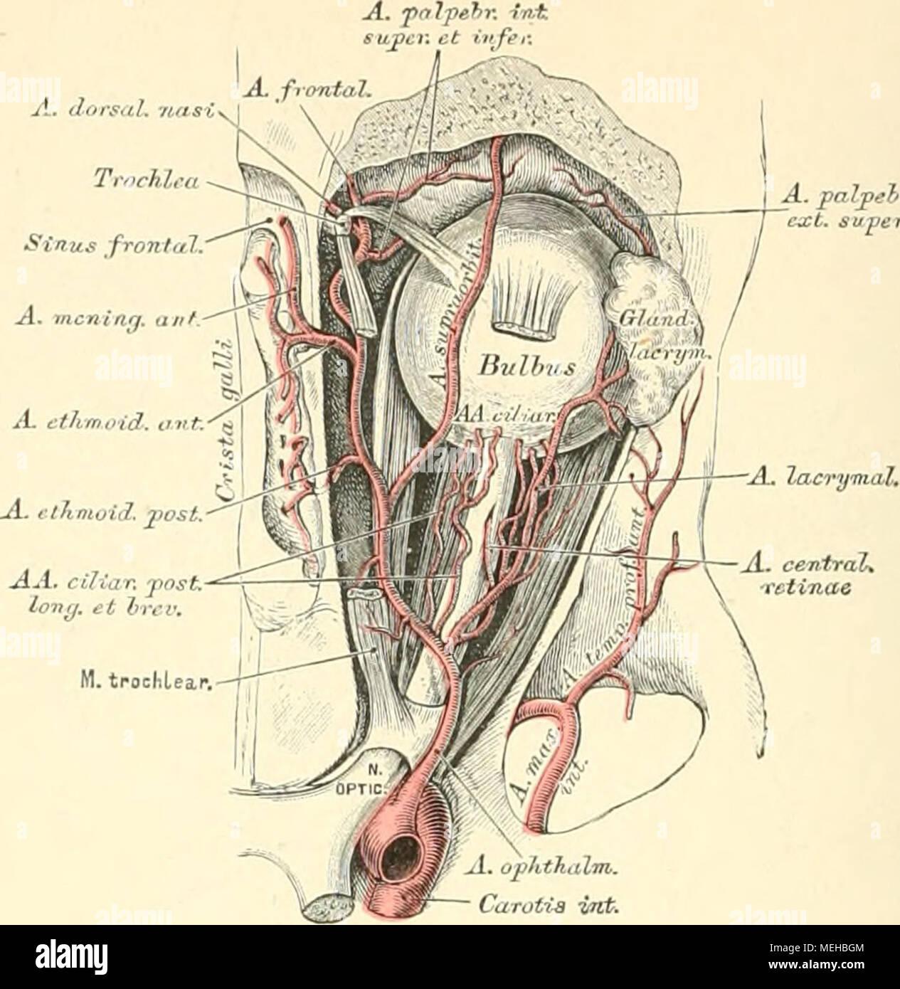Charmant Jochbogen Anatomie Fotos - Anatomie Und Physiologie Knochen ...