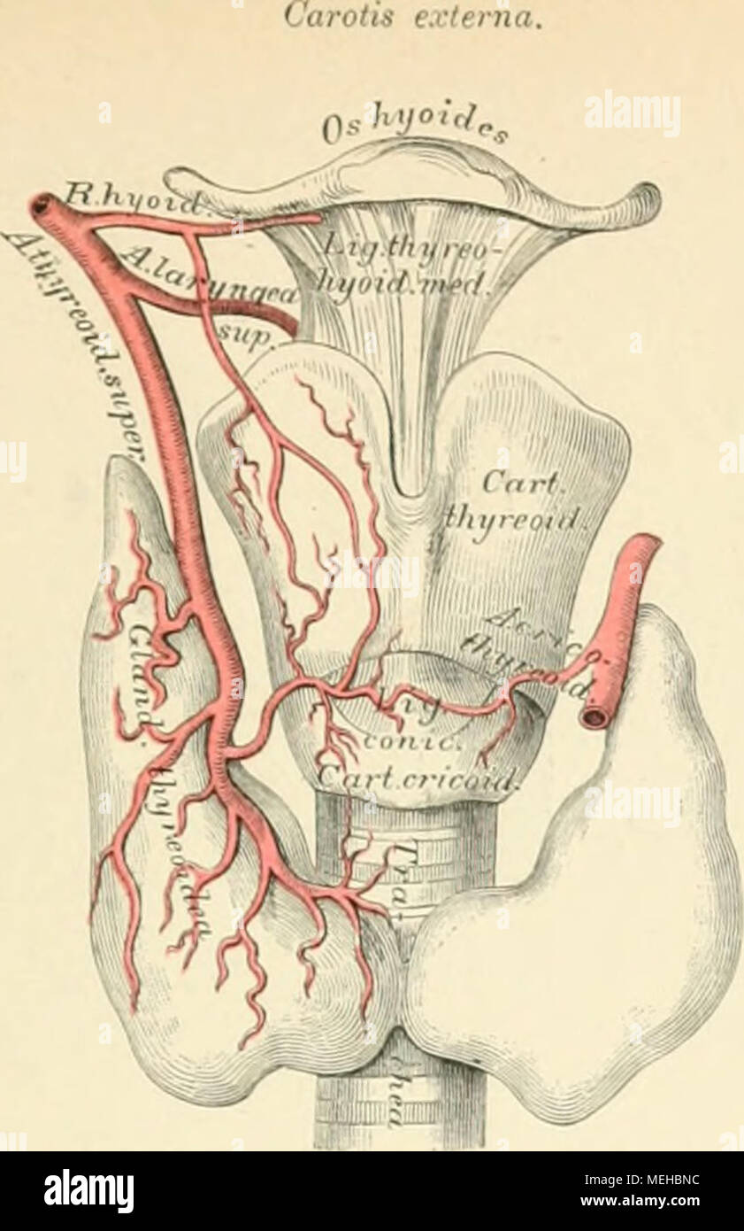 Berühmt Makroskopische Anatomie Anhänger Fotos - Anatomie Ideen ...