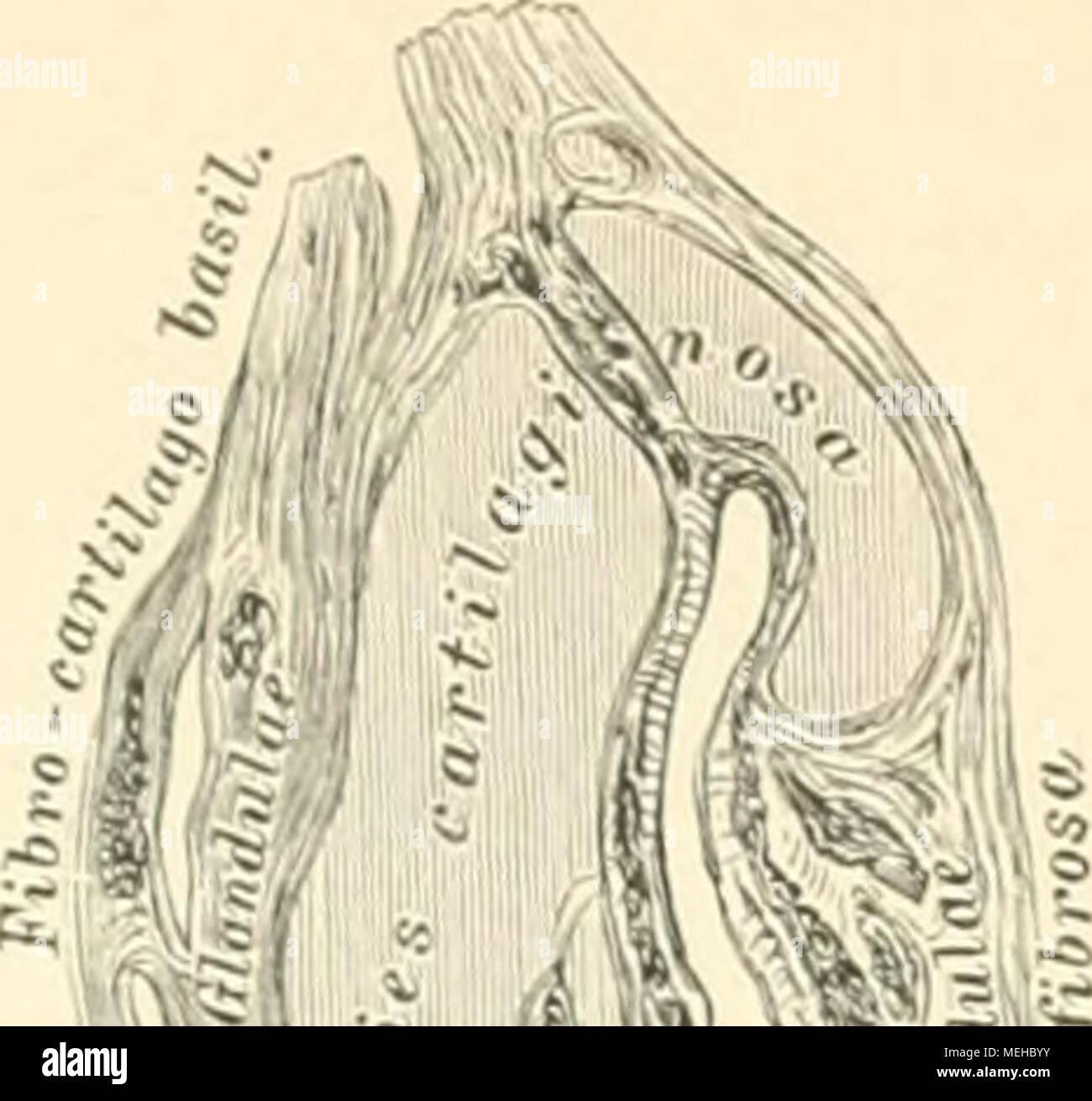 Die descriptive und topographische Anatomie des Menschen . G(5i ...