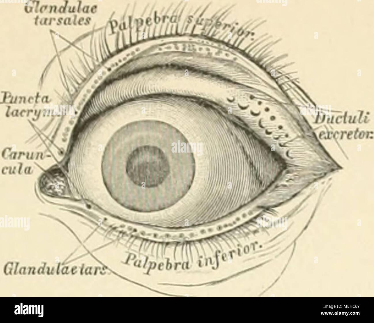 Großzügig Augenlid Anatomie Und Physiologie Bilder - Menschliche ...