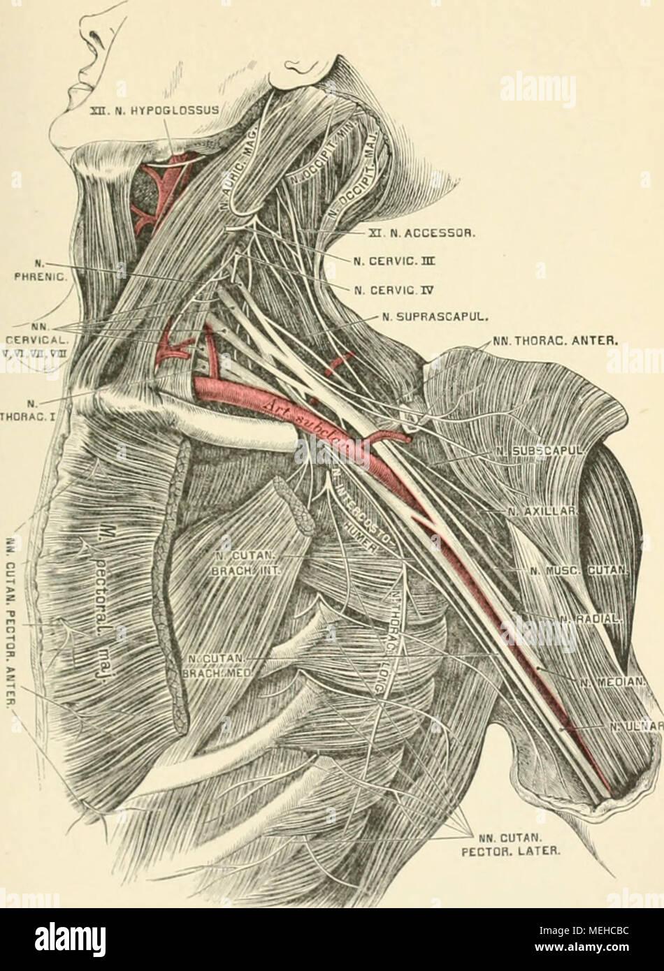 Atemberaubend Laterale Ellenbogen Anatomie Bilder - Menschliche ...