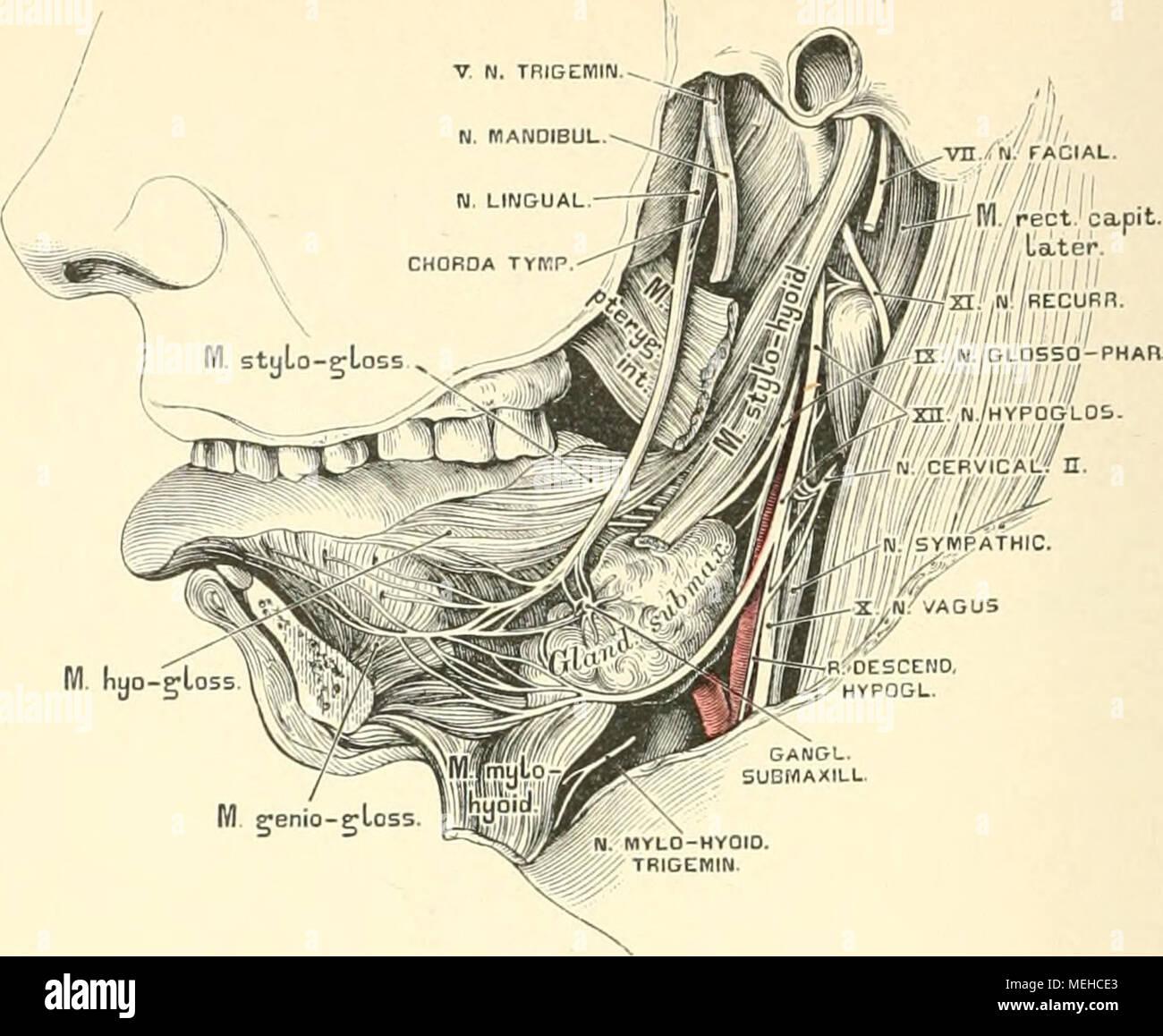 Niedlich Anatomie Des Hals Und Mund Fotos - Menschliche Anatomie ...