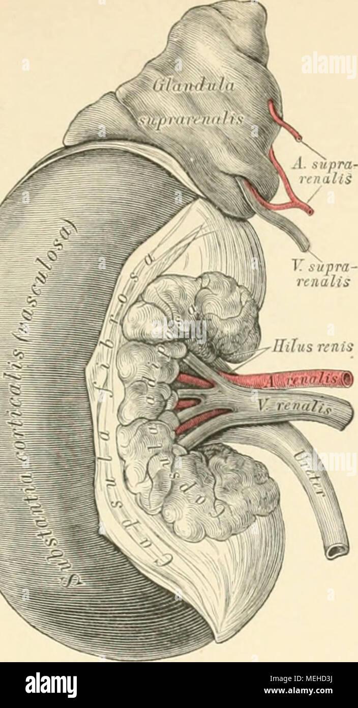 Schön Mikroskopische Anatomie Der Niere Bilder - Menschliche ...