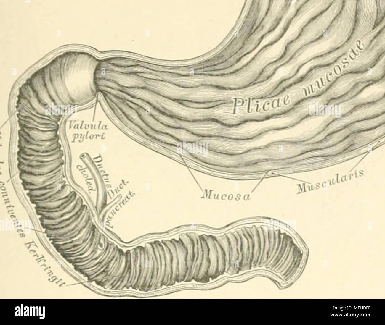 Niedlich Leber Und Milz Anatomie Galerie - Anatomie Ideen - finotti.info