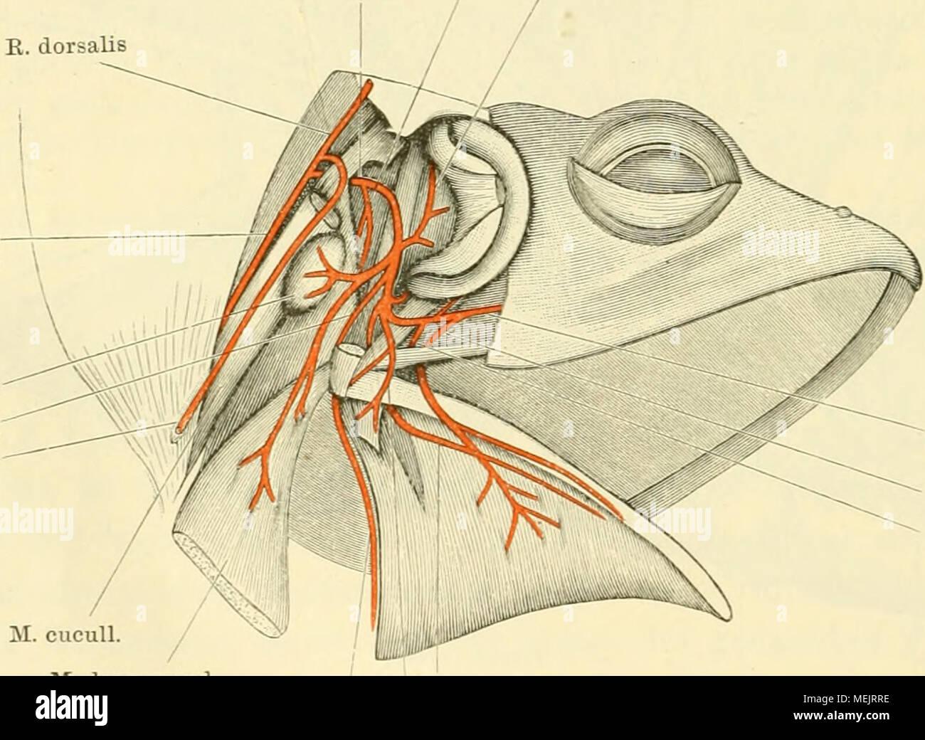 Tolle Hals Dreieck Anatomie Galerie - Menschliche Anatomie Bilder ...