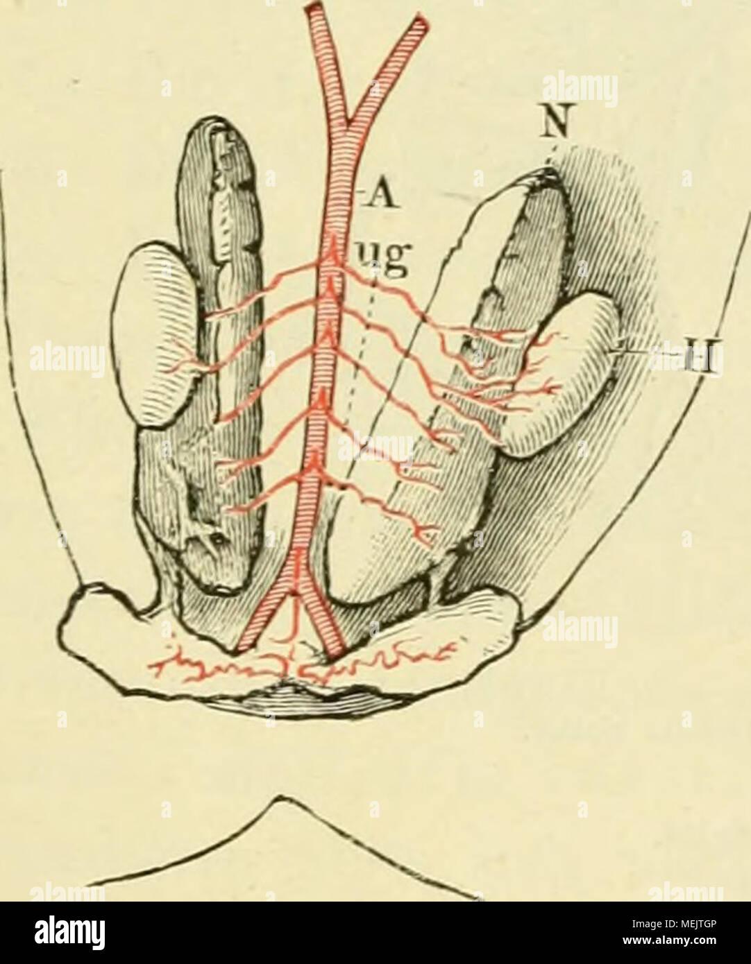 Nett Hoden Anatomie Bilder Galerie - Physiologie Von Menschlichen ...